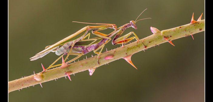 """""""Mantis love"""", de Mario Fiorucci."""