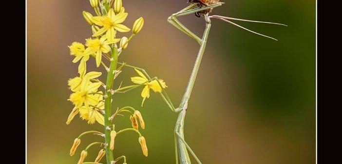"""""""Mantis palo con abeja"""", de Mario Fiorucci."""